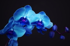 blue-orchid dreamstime xs 17097555-22